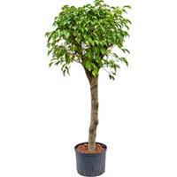 plantenwinkel.nl Ficus benjamina stam L hydrocultuur plant