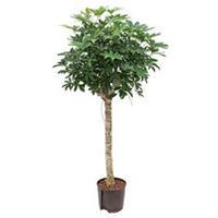 plantenwinkel.nl Schefflera arboricola stam M hydrocultuur plant