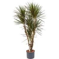 plantenwinkel.nl Dracaena marginata spider vertakt L hydrocultuur plant