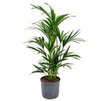 plantenwinkel.nl Kentia palm forsteriana perth hydrocultuur plant