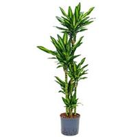 plantenwinkel.nl Dracaena cintho salvador hydrocultuur plant