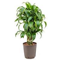 plantenwinkel.nl Dracaena dorado curico hydrocultuur plant