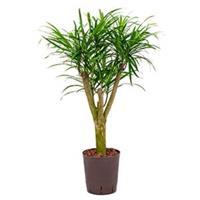 plantenwinkel.nl Dracaena pleomele anita S hydrocultuur plant
