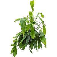 Lepismium cactus oxypeltatum hangplant