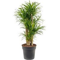 plantenwinkel.nl Dracaena Pleomele anita variegata S kamerplant