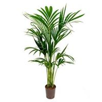 plantenwinkel.nl Kentia palm forsteriana ballina hydrocultuur plant