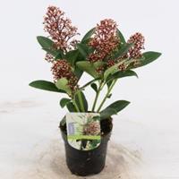 "plantenwinkel.nl Skimmia (Skimmia Japonica ""Bonfire""®) heester - 15-20 cm (P9,5) - 18 stuks"