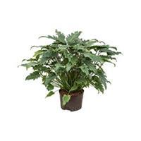 plantenwinkel.nl Philodendron xanadu L hydrocultuur plant