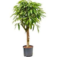 plantenwinkel.nl Ficus amstel king stam S hydrocultuur plant