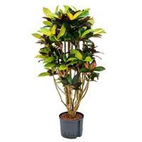 plantenwinkel.nl Croton iceton L hydrocultuur plant