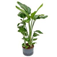 plantenwinkel.nl Strelitzia nicolai L hydrocultuur plant