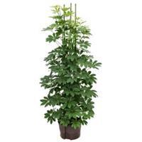plantenwinkel.nl Schefflera arboricola 6pp hydrocultuur plant