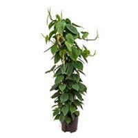plantenwinkel.nl Philodendron scandens 120 hydrocultuur plant