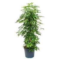 plantenwinkel.nl Schefflera arboricola vertakt M kamerplant