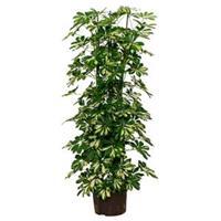 plantenwinkel.nl Schefflera gold capella 6pp hydrocultuur plant