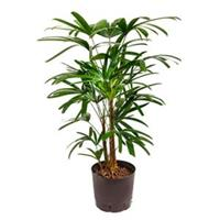 plantenwinkel.nl Rhapis palm excelsa M hydrocultuur plant