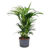 plantenwinkel.nl Kentia palm forsteriana adelaide hydrocultuur plant