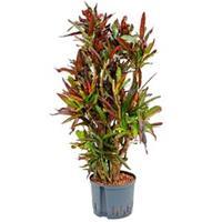 plantenwinkel.nl Croton mamey L hydrocultuur plant