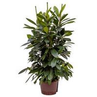 plantenwinkel.nl Ficus cyathistipula 6pp S hydrocultuur plant