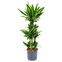 plantenwinkel.nl Dracaena cintho santos hydrocultuur plant