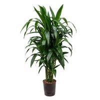 plantenwinkel.nl Dracaena janet craig multi M hydrocultuur plant