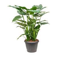 plantenwinkel.nl Alocasia cucullata XL kamerplant