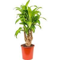 plantenwinkel.nl Dracaena massangeana XL kamerplant