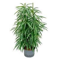 plantenwinkel.nl Ficus alii 2pp hydrocultuur plant
