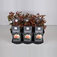 plantenwinkel.nl Rozenstruik Fragrant Delight