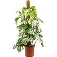 plantenwinkel.nl Monstera pertusem variegatum L gatenplant kamerplant