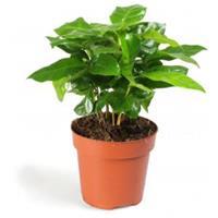 plantenwinkel.nl Koffieplant Coffea arabica S kamerplant