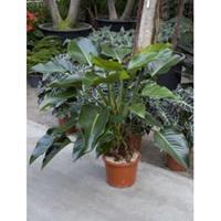 plantenwinkel.nl Philodendron green beauty kamerplant
