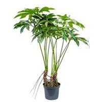 plantenwinkel.nl Philodendron fun bun L kamerplant
