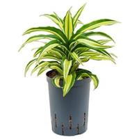 plantenwinkel.nl Dracaena compacta malaika hydrocultuur plant