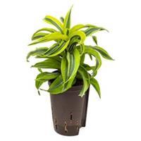 plantenwinkel.nl Dracaena lemon surprise hydrocultuur plant