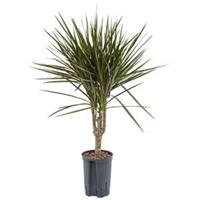 plantenwinkel.nl Dracaena marginata spider M hydrocultuur plant