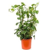 plantenwinkel.nl Monstera obliqua L gatenplant kamerplant