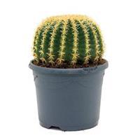plantenwinkel.nl Echinocactus grusonii intermedius kamerplant