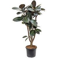 plantenwinkel.nl Ficus elastica abidjan vertakt kamerplant
