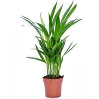 plantenwinkel.nl Areca Goudpalm lutescens XS kamerplant