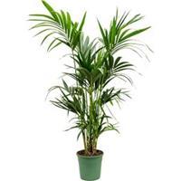 plantenwinkel.nl Kentia Palm howea forsteriana bush kamerplant