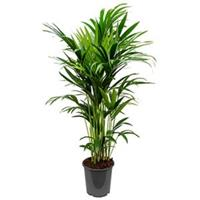 plantenwinkel.nl Kentia Palm howea forsteriana 10pp kamerplant