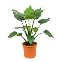 plantenwinkel.nl Alocasia cucullata L kamerplant