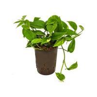 plantenwinkel.nl Scindapsus Epipremnum aureum hydrocultuur hangplant
