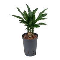 plantenwinkel.nl Dracaena janet lind tezen hydrocultuur plant