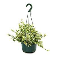 plantenwinkel.nl Ficus repens white sunny hangplant