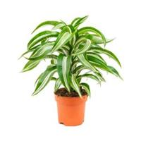 plantenwinkel.nl Dracaena jade jewel khaeyut guzeeth kamerplant