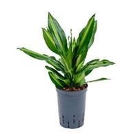 plantenwinkel.nl Dracaena cintho petrolina hydrocultuur plant