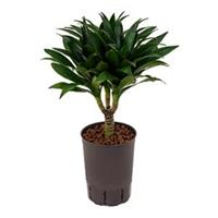 plantenwinkel.nl Dracaena compacta XS hydrocultuur plant
