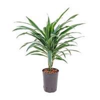 plantenwinkel.nl Dracaena deremensis neiva hydrocultuur plant